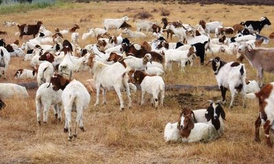 google's goats!